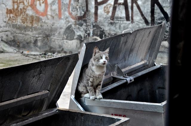 Gray Cat. Istanbul, Turkey. Nikon D90