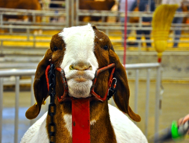 Not a happy goat. Houston Livestock Show and Rodeo